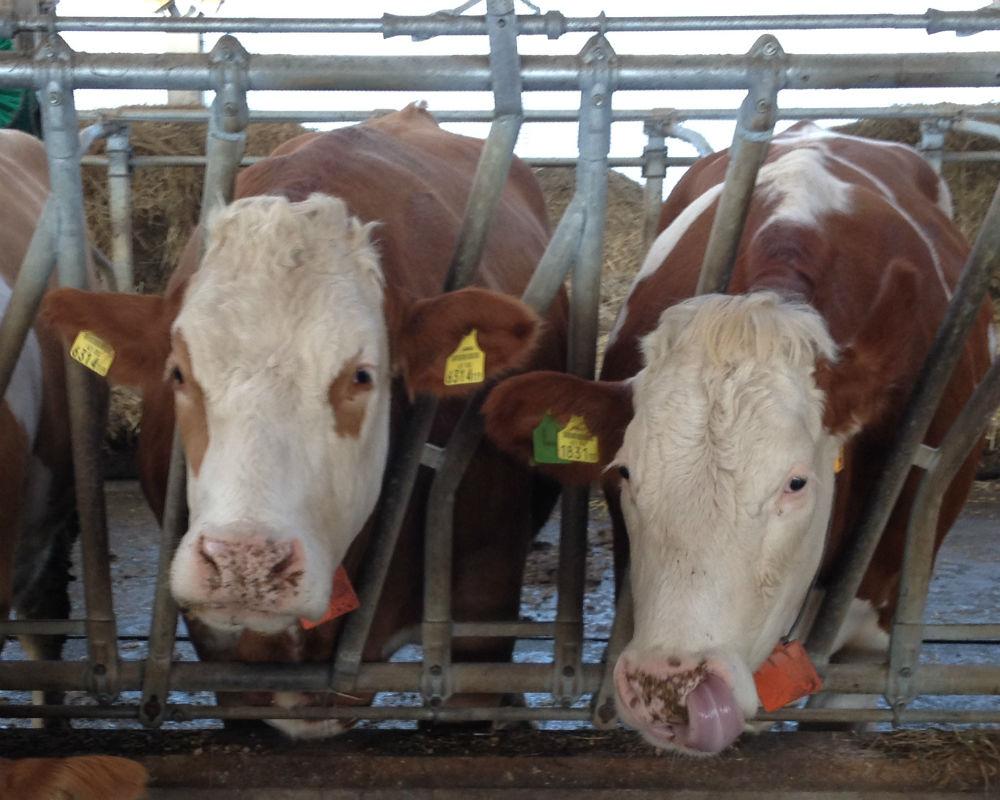 Zwei Milchkühe im Stall