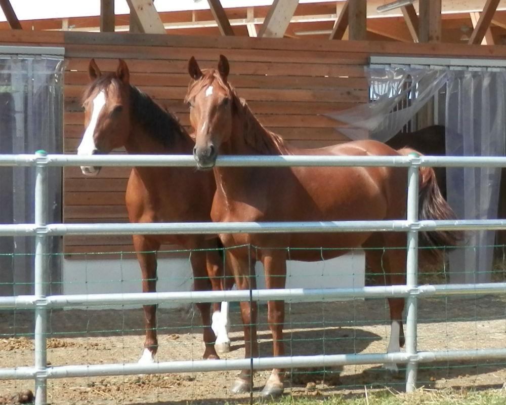Zwei Pferde im Paddock